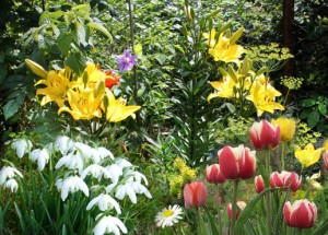 Zucht-Lilien